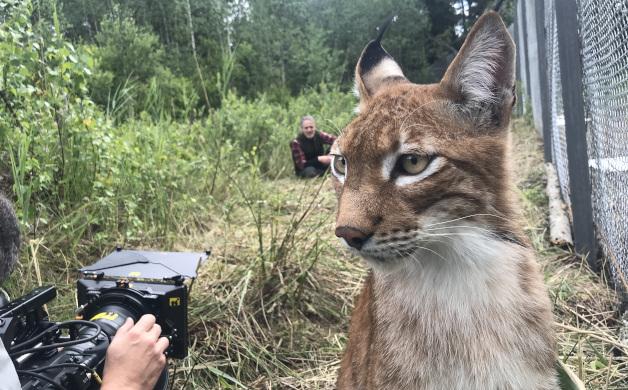 """Telecamere Panasonic: le straordinarie riprese delle linci per il documentario """"SNOW CATS & ME"""" della BBC2"""